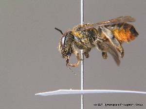 (Megachile pilicrus - BC ZSM HYM 11915)  @11 [ ] CreativeCommons - Attribution Non-Commercial Share-Alike (2010) ZSM (Zoologische Staatssammlung Muenchen) ZSM (Zoologische Staatssammlung Muenchen)