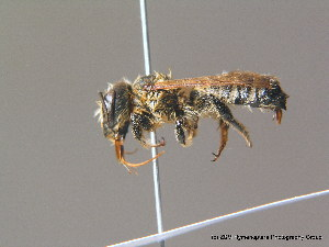 (Megachile albisecta - BC ZSM HYM 11916)  @14 [ ] CreativeCommons - Attribution Non-Commercial Share-Alike (2010) ZSM (Zoologische Staatssammlung Muenchen) ZSM (Zoologische Staatssammlung Muenchen)