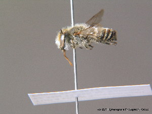 (Megachile leachella - BC ZSM HYM 11919)  @14 [ ] CreativeCommons - Attribution Non-Commercial Share-Alike (2010) ZSM (Zoologische Staatssammlung Muenchen) ZSM (Zoologische Staatssammlung Muenchen)