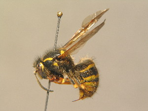 (Dolichovespula sylvestris - BC ZSM HYM 13969)  @14 [ ] Unspecified (default): All Rights Reserved  Unspecified Unspecified