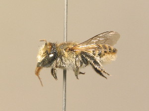 (Megachile pilidens - BC ZSM HYM 14560)  @15 [ ] CreativeCommons - Attribution Non-Commercial Share-Alike (2015) SNSB, Zoologische Staatssammlung Muenchen SNSB, Zoologische Staatssammlung Muenchen