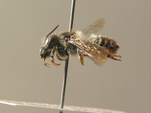 (Megachile alpicola - BC ZSM HYM 15342)  @13 [ ] CreativeCommons - Attribution Non-Commercial Share-Alike (2015) SNSB, Zoologische Staatssammlung Muenchen SNSB, Zoologische Staatssammlung Muenchen