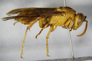 (Polistes wattii - BC ZSM HYM 15511)  @14 [ ] Unspecified (default): All Rights Reserved  Unspecified Unspecified