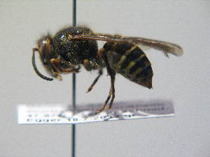 (Dolichovespula media - BC ZSM HYM 16990)  @13 [ ] Unspecified (default): All Rights Reserved  Unspecified Unspecified