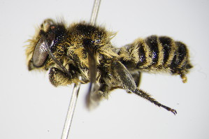 (Megachile melanopyga - BC ZSM HYM 17555)  @14 [ ] Unspecified (default): All Rights Reserved  Unspecified Unspecified