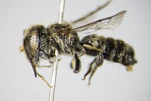 (Megachile rotundata - BC ZSM HYM 17558)  @14 [ ] Unspecified (default): All Rights Reserved  Unspecified Unspecified