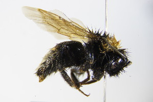 (Bombus vestalis - BC ZSM HYM 17924)  @15 [ ] CreativeCommons - Attribution Non-Commercial Share-Alike (2015) SNSB, Zoologische Staatssammlung Muenchen SNSB, Zoologische Staatssammlung Muenchen