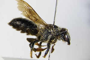 (Megachile pyrenaica - BC ZSM HYM 17935)  @14 [ ] Unspecified (default): All Rights Reserved  Unspecified Unspecified