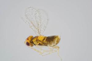 (Encarsia berlesei - BC-ZSM-HYM-20769-A05)  @11 [ ] by-nc-sa (2014) Stefan Schmidt ZSM (Zoologische Staatssammlung Muenchen)