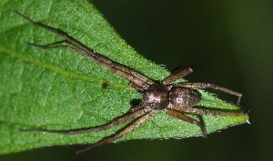 (Philodromus collinus - GBOL14444)  @14 [ ] by-nc-sa - Creative Commons - Attribution Non-Comm Share-Alike (2015) Joerg Spelda ZSM (Zoologische Staatssammlung Muenchen)