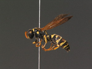 (Polistes hellenicus - BC ZSM HYM 13467)  @14 [ ] Unspecified (default): All Rights Reserved  Unspecified Unspecified