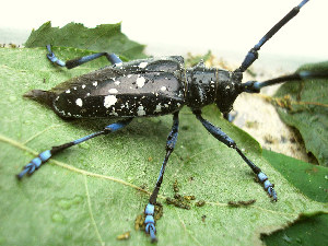 (Cerambycidae - EU914408)  @19 [ ] No Rights Reserved (2014) Wikipedia User Pudding4brains Unspecified