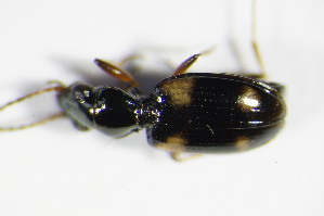 (Bembidion quadrimaculatum - GBOL_Col_FK_0215)  @13 [ ] Unspecified (default): All Rights Reserved  Unspecified Unspecified