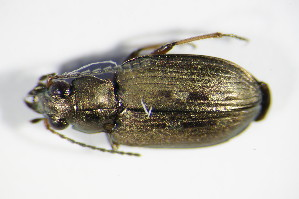 (Bembidion velox - GBOL_Col_FK_0223)  @13 [ ] Unspecified (default): All Rights Reserved  Unspecified Unspecified