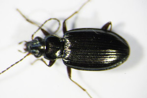 (Bembidion geniculatum - GBOL_Col_FK_0601)  @14 [ ] CreativeCommons - Attribution Non-Commercial Share-Alike (2015) SNSB, Zoologische Staatssammlung Muenchen SNSB, Zoologische Staatssammlung Muenchen