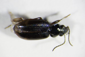 (Bembidion lunulatum - GBOL_Col_FK_2038)  @13 [ ] CreativeCommons - Attribution Non-Commercial Share-Alike (2015) SNSB, Zoologische Staatssammlung Muenchen SNSB, Zoologische Staatssammlung Muenchen