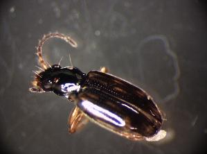 (Bembidion octomaculatum - GBOL_Col_FK_6238)  @12 [ ] CreativeCommons - Attribution Non-Commercial Share-Alike (2015) SNSB, Zoologische Staatssammlung Muenchen SNSB, Zoologische Staatssammlung Muenchen