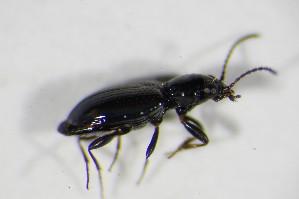(Bembidion tenellum - GBOL_Col_FK_5026)  @12 [ ] CreativeCommons - Attribution Non-Commercial Share-Alike (2015) SNSB, Zoologische Staatssammlung Muenchen SNSB, Zoologische Staatssammlung Muenchen