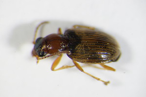 (Bembidion ruficolle - GBOL_Col_FK_2189)  @13 [ ] Unspecified (default): All Rights Reserved  Unspecified Unspecified