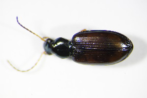 (Bembidion testaceum - GBOL_Col_FK_2981)  @14 [ ] CreativeCommons - Attribution Non-Commercial Share-Alike (2015) SNSB, Zoologische Staatssammlung Muenchen SNSB, Zoologische Staatssammlung Muenchen
