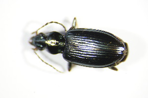 (Bembidion tibiale - GBOL_Col_FK_3144)  @13 [ ] CreativeCommons - Attribution Non-Commercial Share-Alike (2015) SNSB, Zoologische Staatssammlung Muenchen SNSB, Zoologische Staatssammlung Muenchen