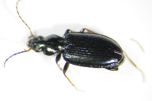 (Bembidion atrocaeruleum - GBOL_Col_FK_3706)  @13 [ ] CreativeCommons - Attribution Non-Commercial Share-Alike (2015) SNSB, Zoologische Staatssammlung Muenchen SNSB, Zoologische Staatssammlung Muenchen
