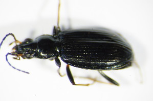 (Bembidion tibiale - GBOL_Col_FK_3754)  @13 [ ] CreativeCommons - Attribution Non-Commercial Share-Alike (2015) SNSB, Zoologische Staatssammlung Muenchen SNSB, Zoologische Staatssammlung Muenchen