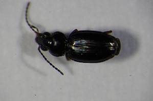 (Bembidion unicolor - GBOL00812)  @11 [ ] Unspecified (default): All Rights Reserved  Unspecified Unspecified