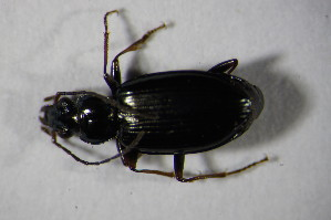 (Bembidion complanatum - GBOL 01316)  @13 [ ] CreativeCommons - Attribution Non-Commercial Share-Alike (2015) SNSB, Zoologische Staatssammlung Muenchen SNSB, Zoologische Staatssammlung Muenchen
