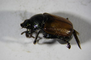 (Scarabaeidae_gen - GBOL02115)  @12 [ ] CreativeCommons - Attribution Non-Commercial Share-Alike (2015) SNSB, Zoologische Staatssammlung Muenchen SNSB, Zoologische Staatssammlung Muenchen