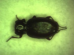 (Bembidion schuppelii - GBOL10360)  @13 [ ] CreativeCommons - Attribution Non-Commercial Share-Alike (2015) SNSB, Zoologische Staatssammlung Muenchen SNSB, Zoologische Staatssammlung Muenchen