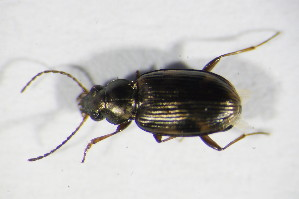 (Bembidion semipunctatum - GBOL_Col_FK_09616)  @13 [ ] CreativeCommons - Attribution Non-Commercial Share-Alike (2015) SNSB, Zoologische Staatssammlung Muenchen SNSB, Zoologische Staatssammlung Muenchen