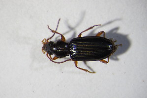 (Bembidion inustum - GBOL_Col_FK_10572)  @13 [ ] Unspecified (default): All Rights Reserved  Unspecified Unspecified