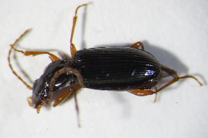 (Bembidion inustum - GBOL_Col_FK_10581)  @13 [ ] Unspecified (default): All Rights Reserved  Unspecified Unspecified