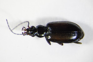 (Bembidion conforme - GBOL_Col_FK_9002)  @13 [ ] CreativeCommons - Attribution Non-Commercial Share-Alike (2015) SNSB, Zoologische Staatssammlung Muenchen SNSB, Zoologische Staatssammlung Muenchen
