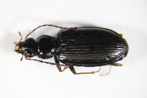 (Bembidion fasciolatum - GBOL_Col_FK_9005)  @13 [ ] CreativeCommons - Attribution Non-Commercial Share-Alike (2015) SNSB, Zoologische Staatssammlung Muenchen SNSB, Zoologische Staatssammlung Muenchen