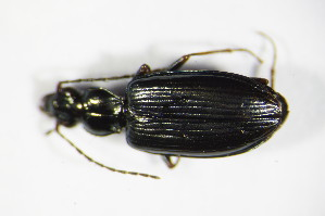 (Bembidion fasciolatum - GBOL_Col_FK_9008)  @13 [ ] CreativeCommons - Attribution Non-Commercial Share-Alike (2015) SNSB, Zoologische Staatssammlung Muenchen SNSB, Zoologische Staatssammlung Muenchen