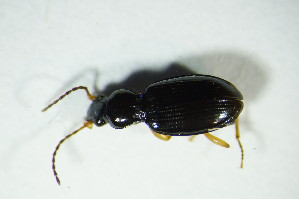 (Bembidion stomoides - GBOL_Col_FK_9142)  @13 [ ] Unspecified (default): All Rights Reserved  Unspecified Unspecified