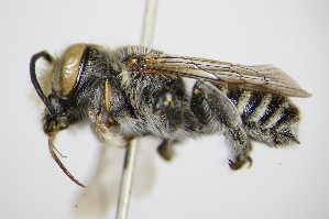 (Megachile opacifrons - BC ZSM HYM 16230)  @11 [ ] Unspecified (default): All Rights Reserved  Unspecified Unspecified