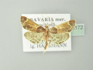 ( - BC ZSM Lep 78172)  @11 [ ] Copyright (2013) Axel Hausmann/Bavarian State Collection of Zoology (ZSM) Bavarian State Collection of Zoology