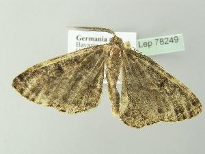( - BC ZSM Lep 78249)  @11 [ ] Copyright (2013) Axel Hausmann/Bavarian State Collection of Zoology (ZSM) Bavarian State Collection of Zoology
