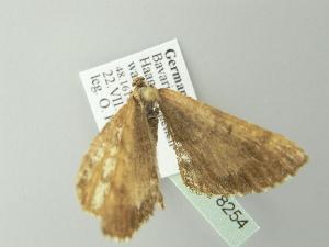 ( - BC ZSM Lep 78254)  @11 [ ] Copyright (2013) Axel Hausmann/Bavarian State Collection of Zoology (ZSM) SNSB, Zoologische Staatssammlung Muenchen