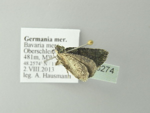 ( - BC ZSM Lep 78274)  @13 [ ] Copyright (2013) Axel Hausmann/Bavarian State Collection of Zoology (ZSM) SNSB, Zoologische Staatssammlung Muenchen
