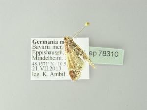 ( - BC ZSM Lep 78310)  @11 [ ] Copyright (2014) Axel Hausmann/Bavarian State Collection of Zoology (ZSM) Bavarian State Collection of Zoology