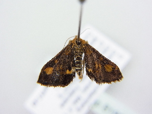 ( - BC ZSM Lep 81895)  @11 [ ] Copyright (2014) Axel Hausmann/Bavarian State Collection of Zoology (ZSM) Bavarian State Collection of Zoology