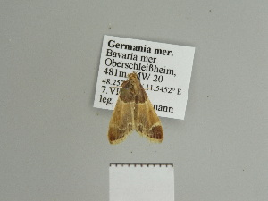 ( - BC ZSM Lep 84526)  @11 [ ] Axel Hausmann/Bavarian State Collection of Zoology (ZSM) (2014) Axel Hausmann/Bavarian State Collection of Zoology (ZSM) SNSB, Zoologische Staatssammlung Muenchen