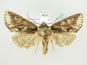 ( - BC ZSM Lep 82300)  @11 [ ] Axel Hausmann/Bavarian State Collection of Zoology (ZSM) (2014) Axel Hausmann/Bavarian State Collection of Zoology (ZSM) SNSB, Zoologische Staatssammlung Muenchen