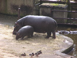 (Hippopotamidae - AP003425)  @14 [ ] CreativeCommons - Attribution Share-Alike (2013) User:karakal Wikimedia Commons