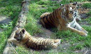 (Panthera - FJ455125)  @15 [ ] CreativeCommons - Attribution Share-Alike (2013) Wilma Verburg Wikimedia Commons