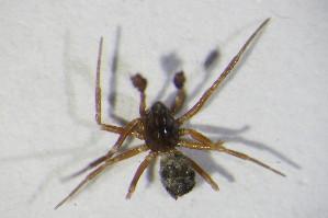 (Diplocephalus cristatus - GBOL10563)  @13 [ ] Unspecified (default): All Rights Reserved  Unspecified Unspecified